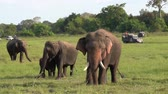 Family of elephants in a Safari at Yala National Park, Sri Lanka. Wideo
