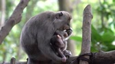 mama : 2 in 1 Baby monkey with its mother taking care of it in the Monkey Forest in Ubud, Bali.