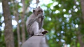 Baby monkey eating a dried potato on top of a wood in the Monkey Forest in Ubud, Bali. A tourist point of Bali, Indonesia. Wideo