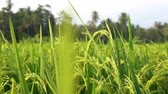 2 in 1 Close up of green paddy rice shot in slow motion of a rice field of Ubud, Bali. Wideo