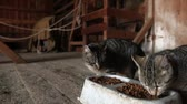 сарай : Farm cats gather in a barn to eat their cat food.