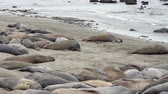 lefektetés : An elephant seal colony on a California beach with males battling in the water in the background