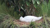 сидящий : Includes two shots. A black-necked swan sits on its nest in Florida