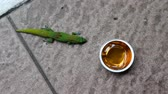 ještěrka : A hungry green gecko walks into frame and proceeds to lick the jelly out of a small container on the floor