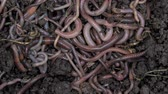 grotesque : Close-up of multiple earthworms crawling through the soil Stock Footage