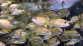 animais : Large school of small yellow fish swimming