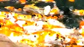 teleobiettivo : Lot of hungry orange fish koi in pond at sunny summer day, this is hand-feed fishes Filmati Stock
