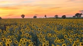 yellow flower : Summer Sunflower field sunset timelapse, 4K time lapse Stock Footage