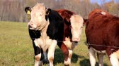 male animal : Young cows moving towards the line that can be considered as their perimeter fence where they are only allowed to feed.