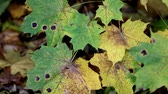 contrastes : Black spots found on the maple leaves that indicates it is about to wither.  Stock Footage