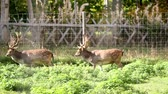 jikry : Two adult dears with antlers walking together side by side in a fenced area full of grass.