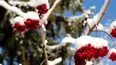 autumn : Set of Viburnum opulus Guelder Rose covered with snow on a cold winter season