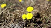атрибут : Closer look of the coltsfoot plant on the ground