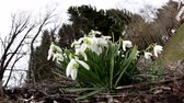 kar taneciği : The white Galanthus plant located outside the house placed on the backyard