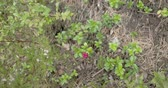 cowberry : Lots of cowberry plants with its red fruit. Also known as Vaccinium vitis-idea or lingonberry is a short evergreen shrub in the heath family that bears edible fruit native to boreal forest and Arctic tundra throughout the Northern Hemisphere from Eurasia  Stock Footage