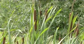 reed : Lots of brown and green bulrush waving on the meadows. Common bulrush or Typha latifolia is a perennial herbaceous plant in the genus Typha. It is found as a native plant species in North and South America  Europe  Eurasia  and Africa.