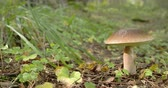 leccinum : One Leccinum mushroom with golden brown in color  small but fat kind of mushroom. Leccinum is a genus of fungi in the family Boletaceae. It was the name given first to a series of fungi within the genus Boletus  then erected as a new genus last century. Stock Footage