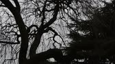 rest : The big tree with curved long trunk and leafless thin branches found inside the cemetery in London