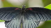 The black shiny whings of a butterfly. Back view of the butterfly with its black with gray wide open wings Vídeos