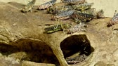 borboleta : Crawling insects called grasshoppers are in a log