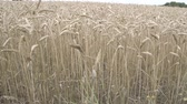 silence : Tall grass wheat on the field on the breeze of the wind