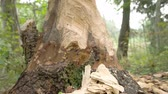 bóbr : The trunk of the tree is eaten by the beaver Wideo