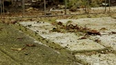 mrówka : A time lapse of an army of ants moving across dry garden stones.