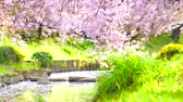 tam çiçeklenme : [4K recording, with audio] Japanese spring cherry blossom blizzard Saitama bukiage cherry trees lined with cherry blossoms in the former Arakawa river Stok Video
