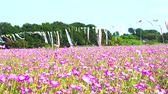 kapr : [4K recording, no sound] Konosu Flower Festival Wheat Nadeshiko Flinging in the Wind [Zoomout]