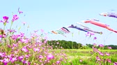 lilas : [4K recording] Konosu Flower Festival Wheat Nadeshiko flinging in the wind