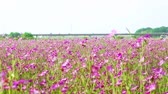 tál : [4K recording, sound available] Konosu Flower Festival Wheat Nadeshiko flinging in the wind