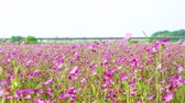 tál : [4K recording, sound available] Konosu Flower Festival Wheat Nadeshiko flinging in the wind [zoomin]
