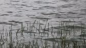 reed : Reeds on the shore of a lake with gentle waves moving across the picture.  The clip was filmed during cloudy weather along Rietvlei Dam in South Africa.