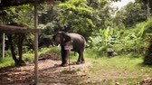 Big elephant eating leaves in a forest with warning board no entry in Thai, slow motion.