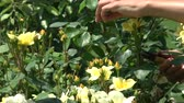 volný čas : Close up of hands pruning yellow roses with shears