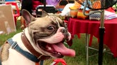 drooling : French Bulldog dog panting in a hot Summer Stock Footage