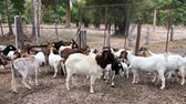 milk goat : goats in the farm in Thailand Stock Footage