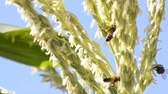 picar : Honey bee worker collecting pollen from flower of corn amidst the wind.