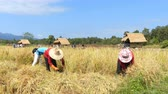CHIANG MAI, THAILAND - DECEMBER 05, 2017 : Farmers harvest rice by the traditional approach, reaping the rice together by a sickle on organic agriculture rice field farm in Chiang Mai, Thailand Stok Video