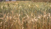 Ripe barley on the field in early summer waving on the wind. Stok Video