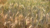 Ripe barley on the field in early summer waving on the wind in slow motion. Stok Video