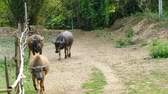 Water Buffalo walking back to the countryside farmland.