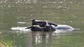 Water Buffalo wading and cooling down in the pond on countryside farmland. Stok Video