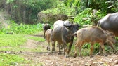 horn : Water Buffalo walking back to the countryside farmland.