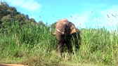 Asian Elephant (Elephas maximus) It is a Big mammal with green grass in the trunk. video 4k Wideo