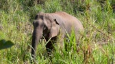 Asian Elephant (Elephas maximus) It is a Big mammal with green grass in the trunk.
