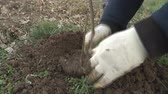 lopata : Planting the seedlings in the hole and burrowing the ground.