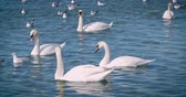 küçük kuş : Beautiful white swans swim in the sea. Stok Video