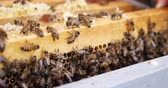 melado : Frames of a bee hive. Beekeeper harvesting honey. Beekeeper Inspecting Bee Hive. Stock Footage