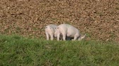 piglets : Two piggi sgraze on an organic farm Stock Footage